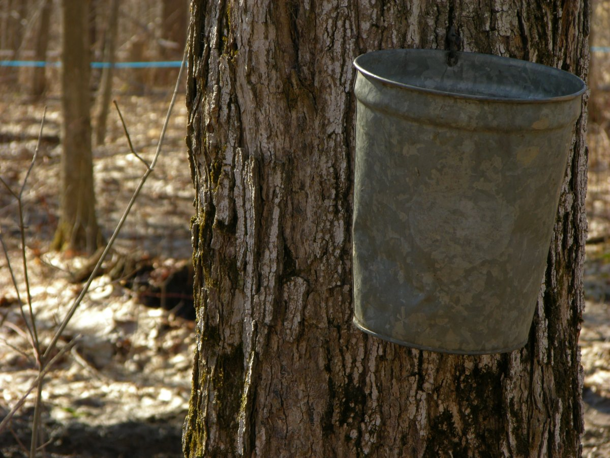 Buckets on Maple Trees collecting sweet sap
