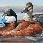 Winning Duck Stamp by Olean Artist