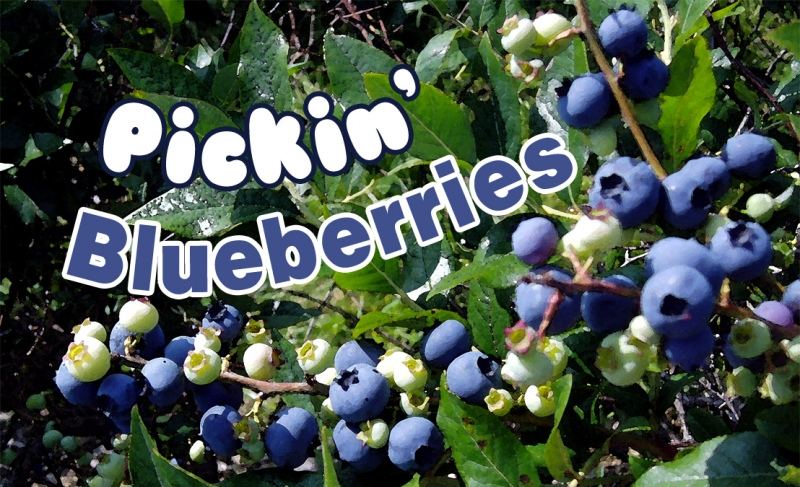 Picture of blueberries with the text Pickin' Blueberries