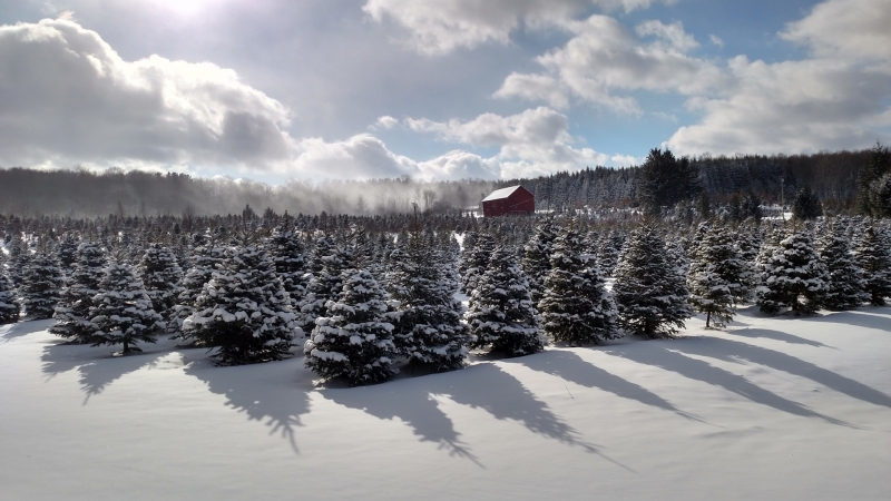 Real Christmas Trees in Cattaraugus County