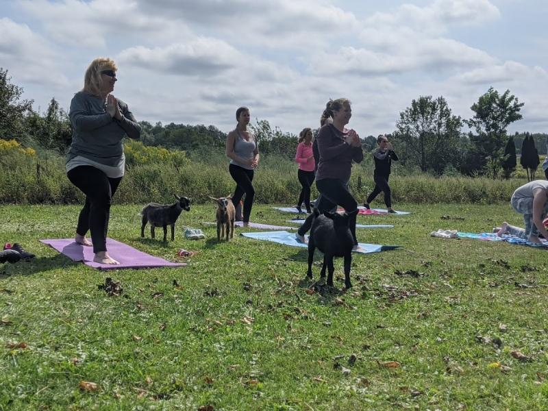 Goat Yoga at Canticle Farm