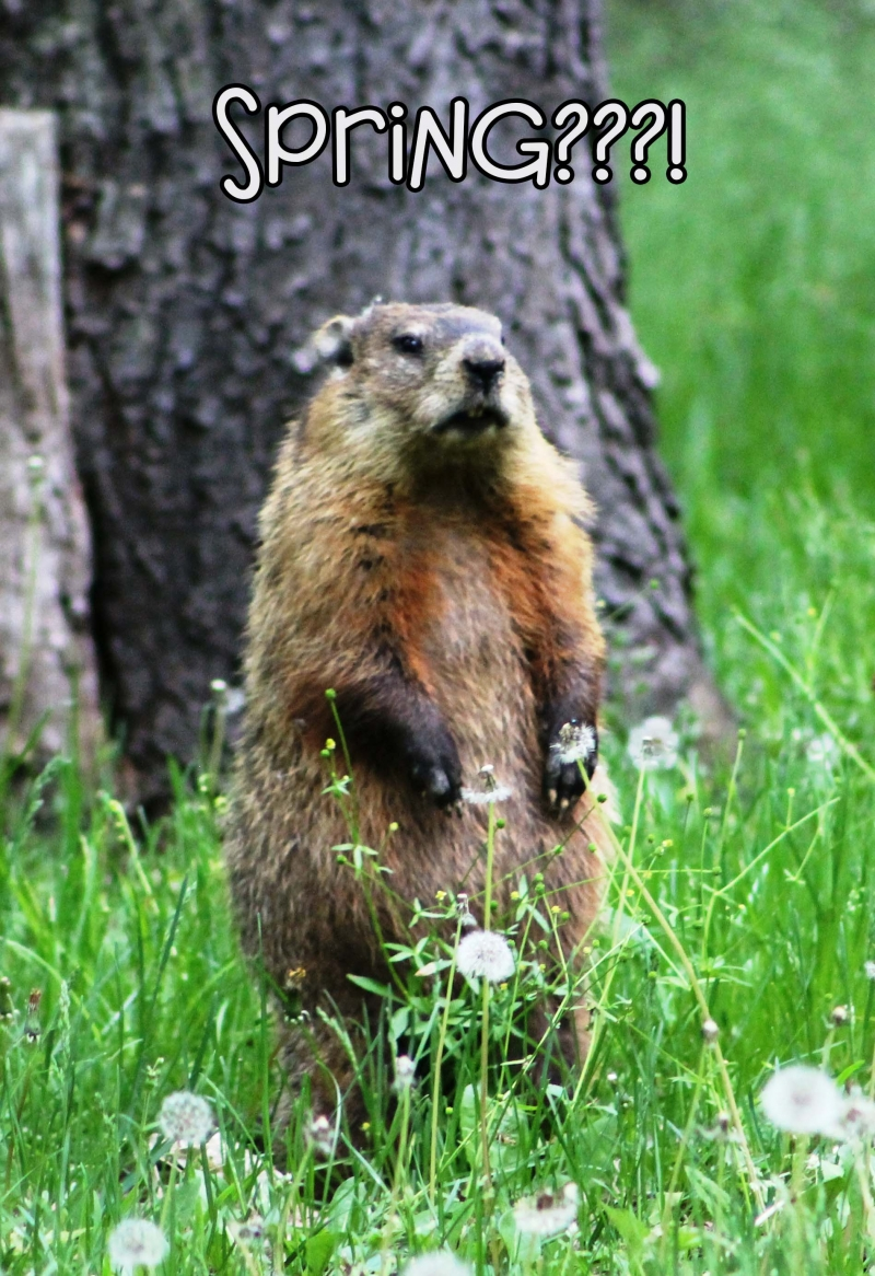 Woodchucks are back!