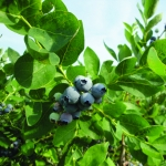 Blueberries in Cattaraugus County