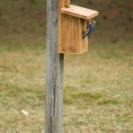 Eastern Bluebird Nest Box at ASP