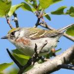 Female Chestnust Sided Warbler by Jennifer Miller