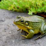 Explore Frog calls with Pfeiffer Nature Center