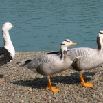 Goosneck Hill Waterfowl Sanctuary Taste of the Southtowns 2018