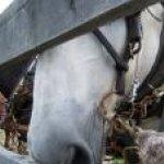 draft horse nose