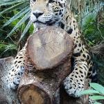 Jaguar - Pfeiffer Nature Center presentation