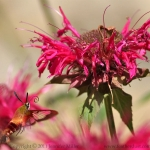 Hummingbird at Bee Balm native Plant