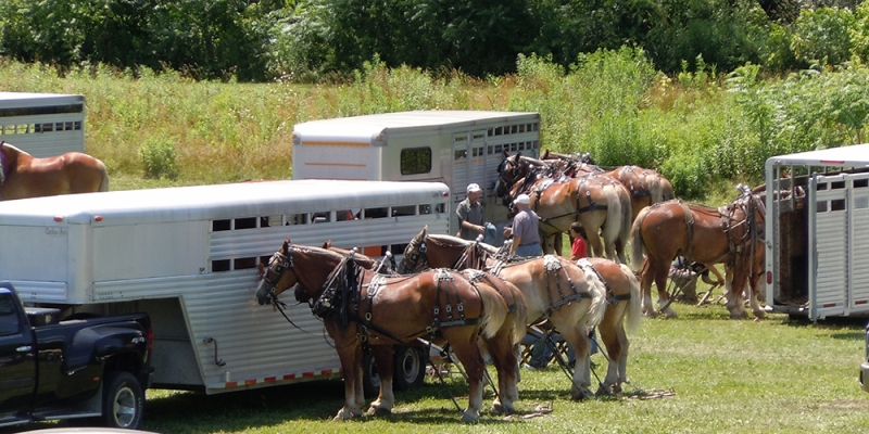 horses ready to pull