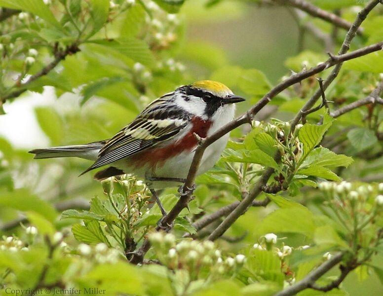 Birding with Pfeiffer Nature Center