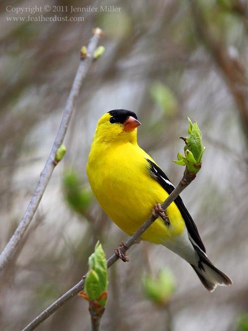 Goldfinch. Photo by Jennifer Miller