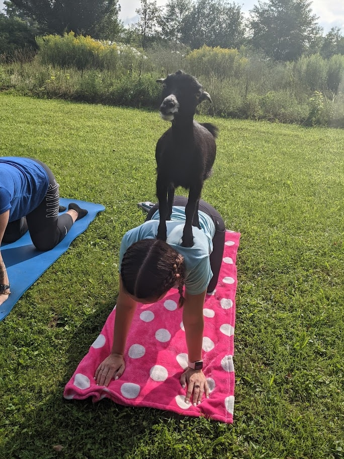 Goat on back of Yogi at Canticle Farms