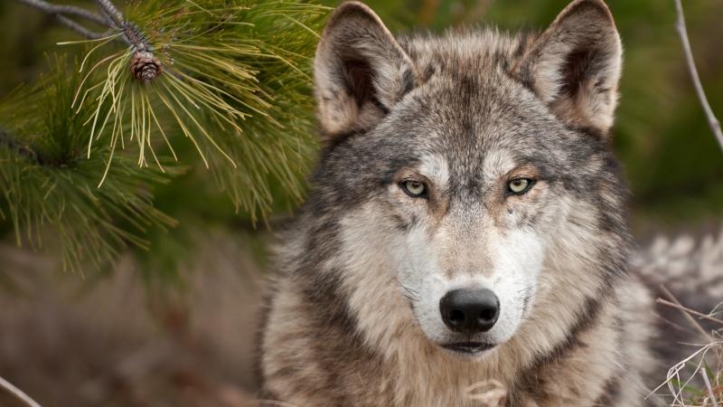 Timberwolf program at Nannen Arboretum