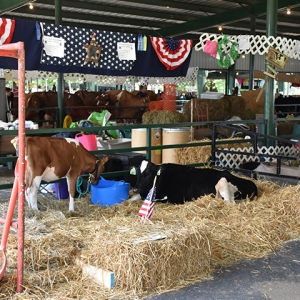 Cows at the 2019 Catt. County Fair