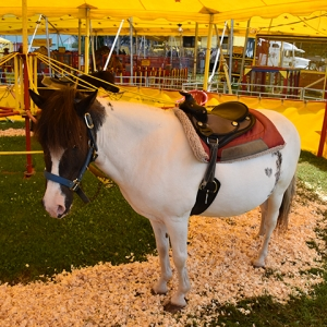 Pony is ready to give a child a ride at the petting zoo. 2019 Catt. County Fair