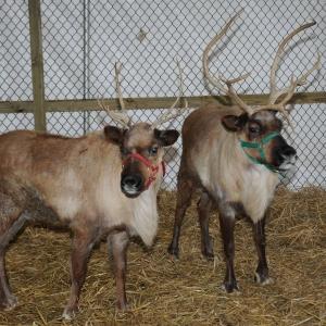 Sprague's Reindeer