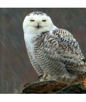 Snowy Owl photo from the CBS Sunday Morning Show