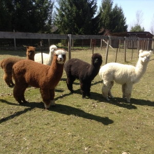 Photo of Cardinal Acre Alpacas
