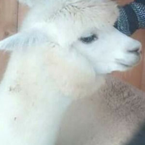 one of their alpacas