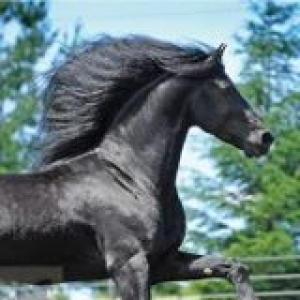 Friesian at Point Break Farm