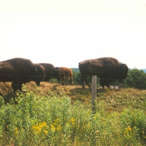 family of bison