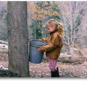 Collecting sap