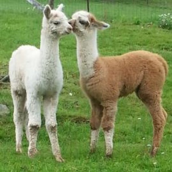 very sweet alpacas