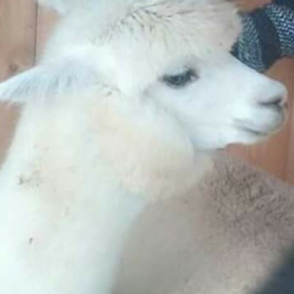 one of their alpacas