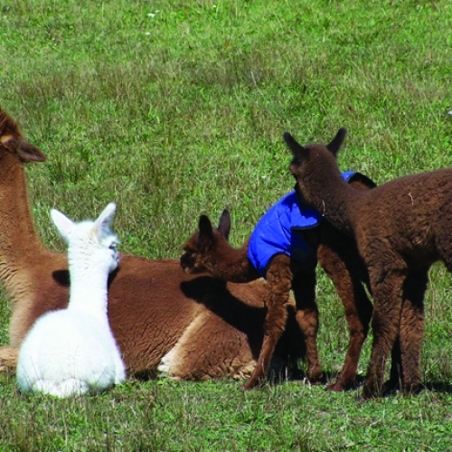 Summer at West Winds Alpaca Ranch