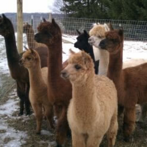 some of the alpacas you'll see