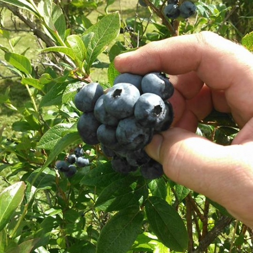 Photo of Blueberry Meadowsberries