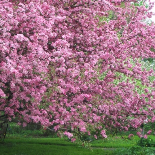 Tree in bloom at Nannen Arboretum in Ellicottville, NY