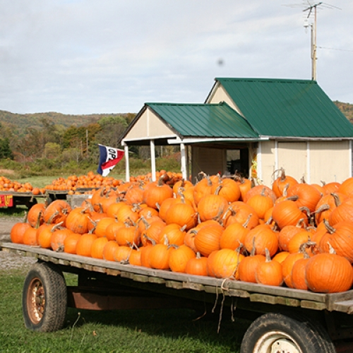 Photo of Schultz's pumpkins
